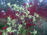 Anigozanthos flavidus tall kangaroo paw 'Landscape Lime'