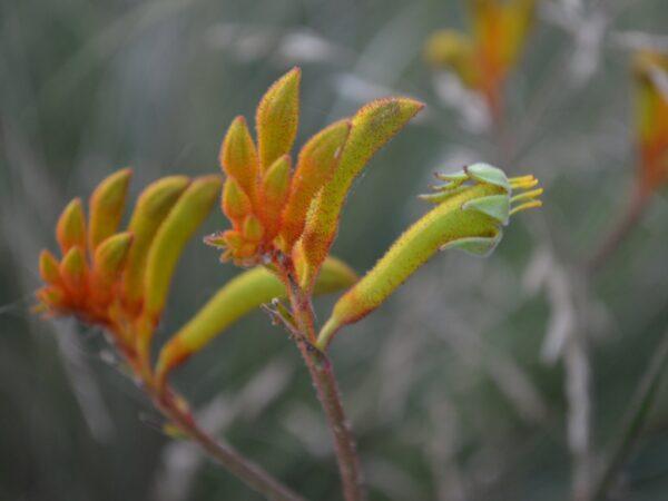 Anigozanthos flavidus kangaroo paw 'Landscape Orange'