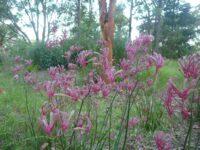 Anigozanthos flavidus kangaroo paw 'Landscape Pink'