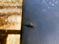 Soldier fly hermetia illucens ready to lay eggs in my worm farm