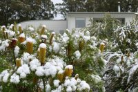 Snow melting on Banksia spinulosa compact form