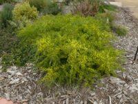 Acacia acinacea wattle 'Pot-o-Gold'