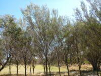 Acacia aneura - mulga wattle