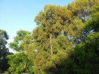 Acacia aulocarpa - hickory wattle