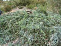 Acacia baileyana prostrate Cootamundra wattle