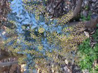 Acacia baileyana purpurea - Cootamundra wattle