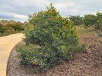 Acacia binervia - myall wattle can grow to 16 metres tall