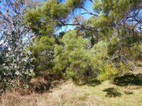 Acacia burrowii - Yarran wattle