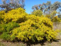 Acacia cardiophylla - Wyalong wattle