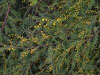 Acacia cardiophylla wyalong wattle 'Gold Lace'