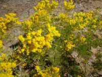 Acacia chinchillensis - Chinchilla wattle