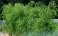Acacia cognata river wattle 'Emerald Curl'
