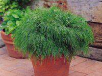 Acacia cognata river-wattle 'Green Mist'