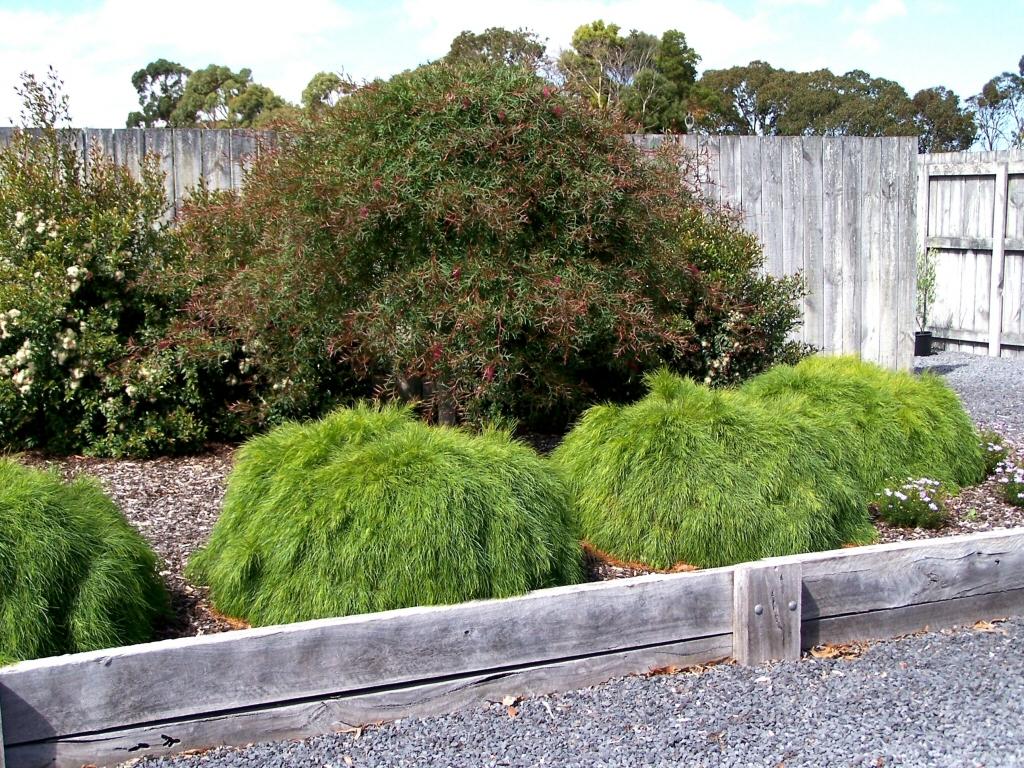 Garden Bush: Acacia Cognata 'Limelight' River Wattle