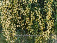 Acacia cognata river-wattle 'Waterfall'