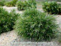Acacia cognata 'Copper Cascade'