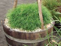 Acacia cognata wattle 'Limelight'