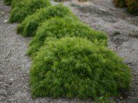 Acacia cognata wattle 'Mini Cog'