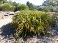 Acacia consobrina - watercourse wattle