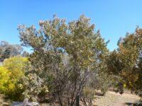 Acacia craspedocarpa - broad-leaf mulga wattle