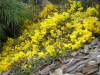 Acacia cultriformis knife-blade wattle 'Cascade'