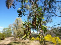 Acacia excels - ironwood wattle