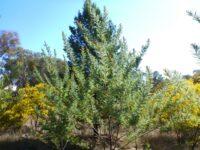 Acacia fulva - soft wattle
