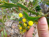 Acacia glaucoptera - clay wattle has unusual flowers that grow on the leaves