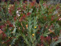Acacia glaucoptera - clay wattle
