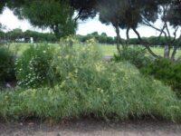 Acacia iteaphylla - Flinders Range wattle