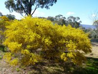 Acacia ixiophylla - wattle