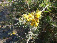 Acacia lanuginose - wattle