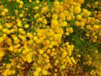 Acacia lasiocarpa - wattle