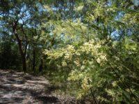 Acacia linifolia - flax wattle