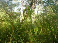 Acacia linifolia - flax wattle seed pods