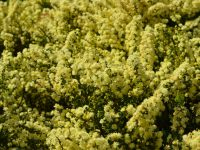 Acacia littorea - shark tooth wattle