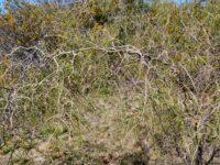 Acacia merinthophora - wattle