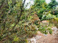 Acacia pravissima - ovens wattle