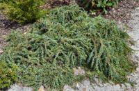 Acacia pravissima ovens wattle 'Bushwalk Baby'