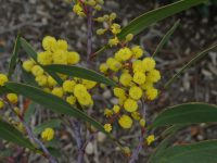 Acacia pycnantha - golden wattle is the national floral emblem of australia