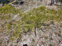 Acacia resinicostata - wattle