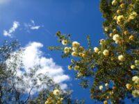 Acacia ulicifolia - juniper wattle has prickly foliage so is good for bird nesting