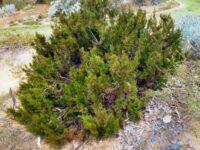 Actinostrobus acuminatus - dwarf cypress