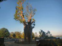 Adansonia gregorii the baobab tree