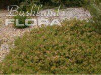 Adenanthos pungens spiky adenanthos 'Coral Cover'