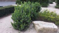 Adenanthos sericeus - woolly bush