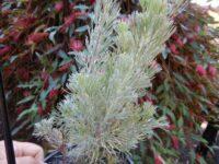 Adenanthos sericeus woolly bush 'Mallee Legend'