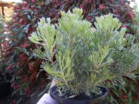 Adenanthos cunninghamii woolly bush 'Lighthouse'