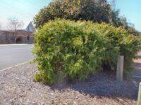 Agonis flexuosa nana - willow peppermint