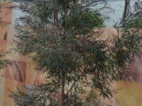Agonis flexuosa willow myrtle 'Midnight Shadow'